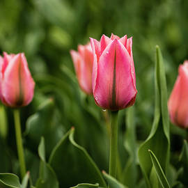 KG Photography - A Spring Tulip