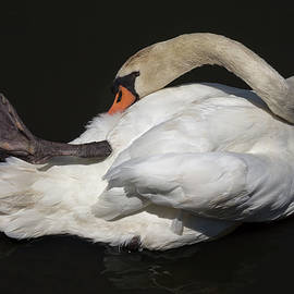 Bruce Frye - A Swan Preens
