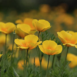 Saija Lehtonen - A Symphony of Poppies