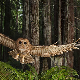 Michael Nichols - A Tagged Northern Spotted Owl