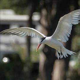 Bruce Frye - A Tern Descends