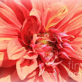 Dora Sofia Caputo Photographic Design and Fine Art - A Touch of Gold on Coral Dahlia