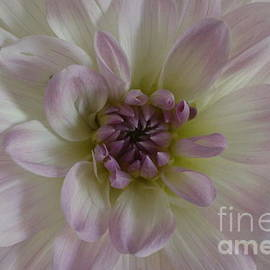 Dora Sofia Caputo Photographic Design and Fine Art - A Touch of Purple on White Dahlia