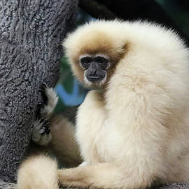 A White Handed Gibbon, Hylobates lar, on a Branch by Derrick Neill