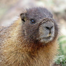 A Yellow-bellied Marmot with a Filthy Nose by Derrick Neill