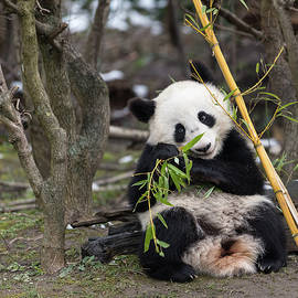 A young giant panda sitting and eating bamboo by Stefan Rotter