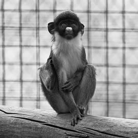 Rachel Morrison - A Young Spot-Nosed Monkey