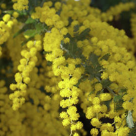 Acacia spectabilis Spray by Michaela Perryman