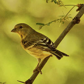 Acacia With Lesser Goldfinch by Theo O'Connor