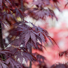 Acer Black Lace - Tim Gainey