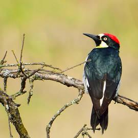 Alan C Wade - Acorn Woodpecker - 1