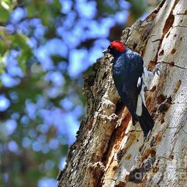 Acorn Woodpecker on the Oak by Debby Pueschel