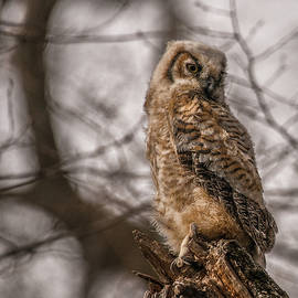 Adolescent Owl 10.... by Paul Vitko