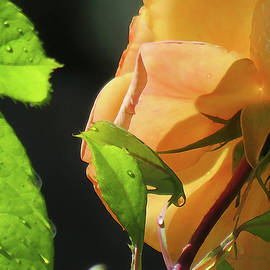 Adored and Adorned - Raindrops on Yellow Rose - Floral Macro from the Garden -  Floral Art by Brooks Garten Hauschild