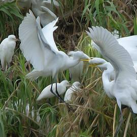 Roy Williams - Adult Great Egret Feeding Their Fledglings - DigitalArt
