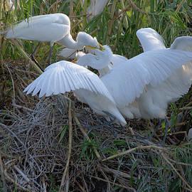 Roy Williams - Adult Great Egret Feeding Their Fledglings