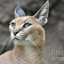 Beth Wolff - African Caracal Cat