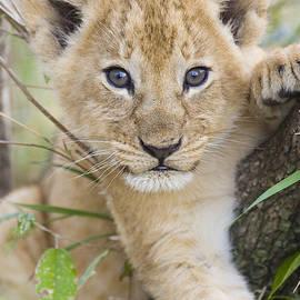 African Lion Cub Kenya by Suzi Eszterhas