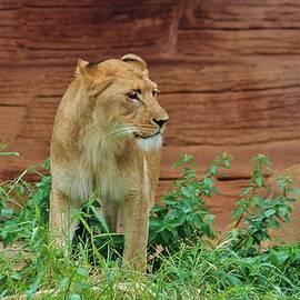 Cynthia Guinn - African Lioness