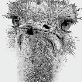African Ostrich Sketch by Larry Linton