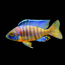 Scott Wallace - African Peacock Cichlid 04
