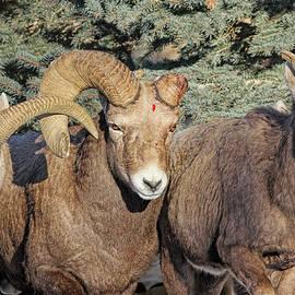 Jennie Marie Schell - After the Rut Bighorn Sheep