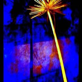 VIVA Anderson - Agapanthus Digital Glory