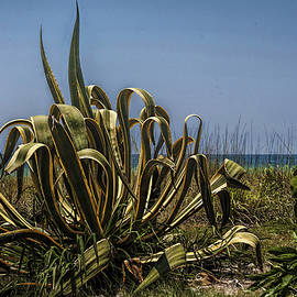 Agave Plant by Mark Fuge