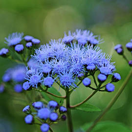 Ageratum Blue by Debbie Oppermann