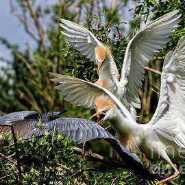 Bill And Deb Hayes - Aggression Between Cattle Egrets and Tricolored Heron