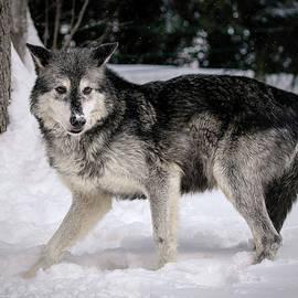 Athena Mckinzie - Alarmed Wolf