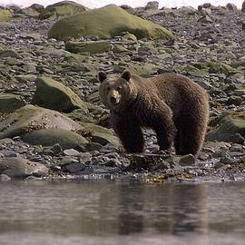 Alaskan Brown Bear dining on mollusks by NaturesPix