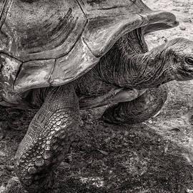 Aldabra Tortoise  by Sandra Selle Rodriguez