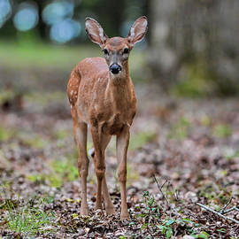 WildBird Photographs - Alert Fawn Deer in Shiloh National Military Park Tennessee