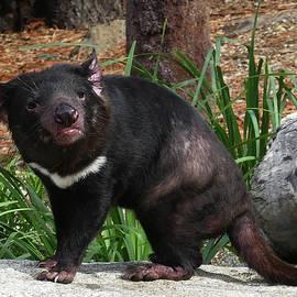 Alert Tasmanian Devil by Margaret Saheed