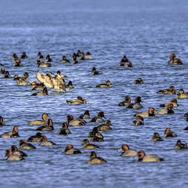 LeeAnn McLaneGoetz McLaneGoetzStudioLLCcom - Algonac Redhead Ducks