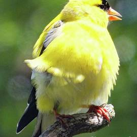 Cindy Treger - Cute and Fluffy - American Goldfinch