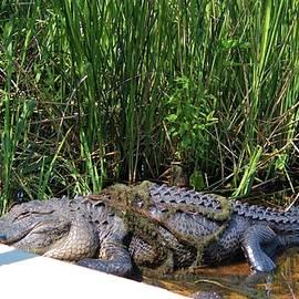 Cynthia Guinn - Alligator Tangled Up
