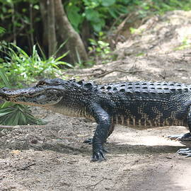 Donald Hazlett - Alligator Walking