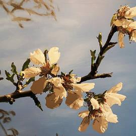 Jesse Waugh - Almond Blossoms