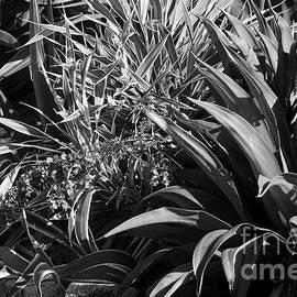 Aloe in Black and White - John Clark