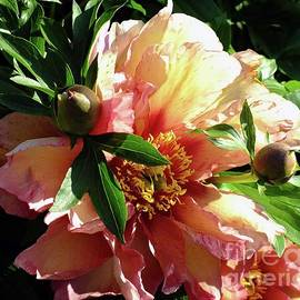 Cindy Treger - Along With Age Comes Beauty - Itoh Peony