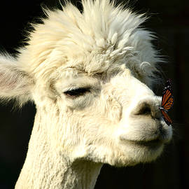Ally White - Alpaca Meets Butterfly