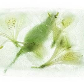 Alstroemeria Encased in Ice by Ann Garrett