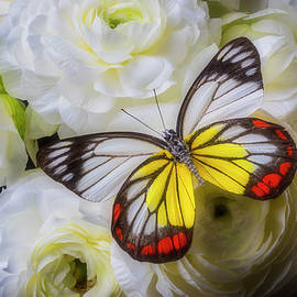 Amazing Butterfly On Ranunculus - Garry Gay
