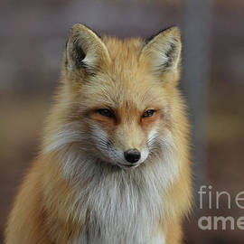 DejaVu Designs - Amazing Red Fox