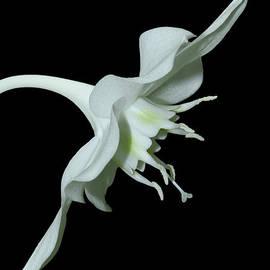 Judy Whitton - Amazon Lily