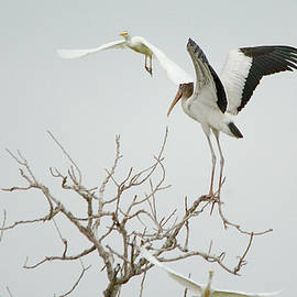 Roy Williams - Americal Wood Stork Gets Pat On The Head