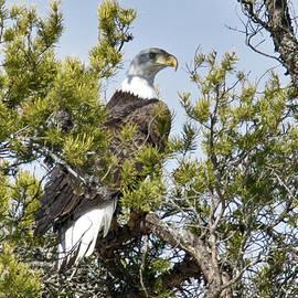 Michael Peychich - American Bald Eagle 504