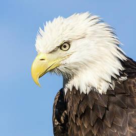 American Bald Eagle I by Dawn Currie